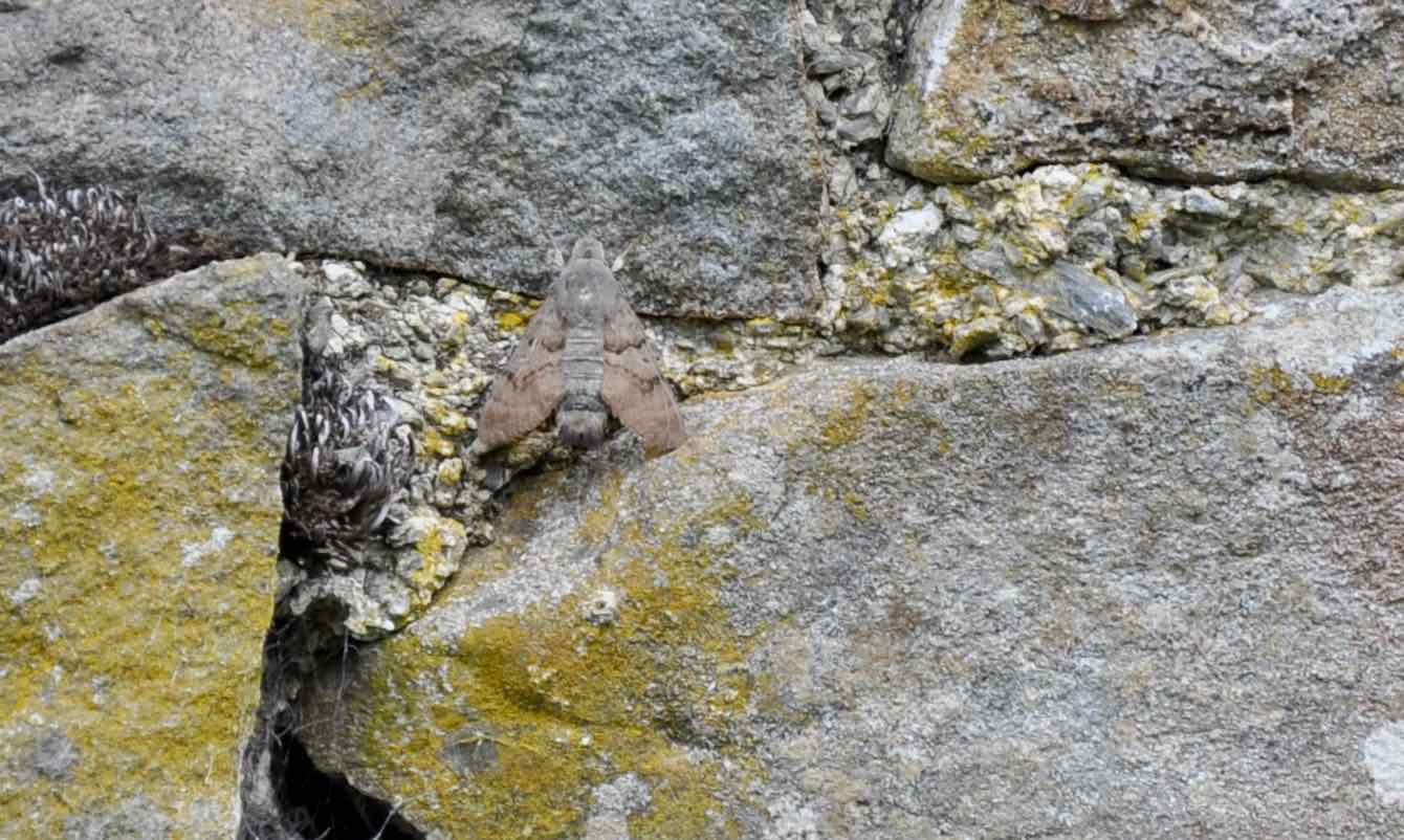 Humming-bird hawk-moth resting on a warm stone wall.jpg