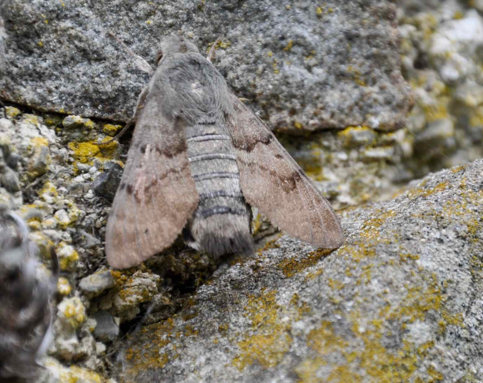 Close-up of a Humming-bird hawk moth at rest.jpg