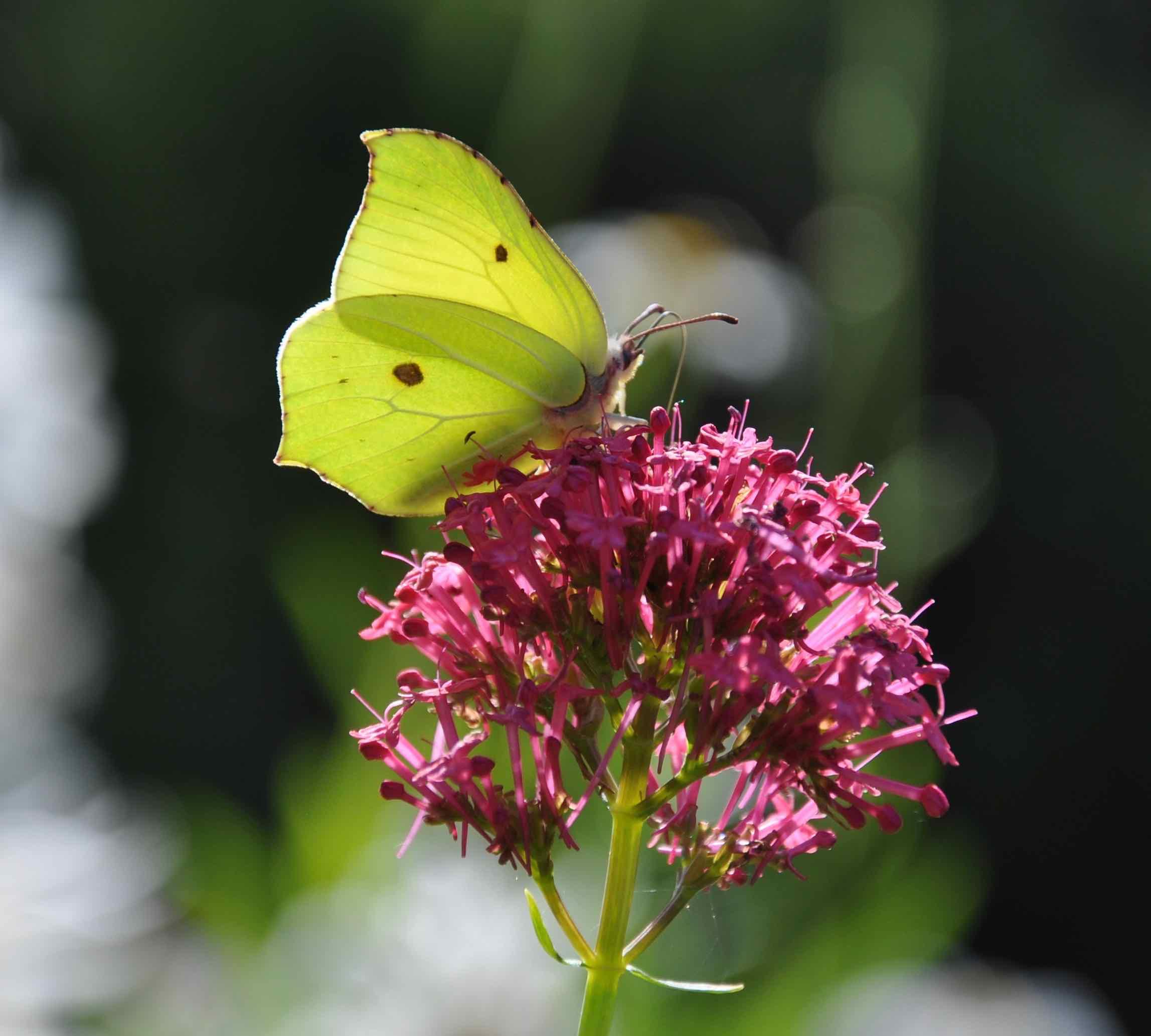 Brimstone Butterfly.jpg