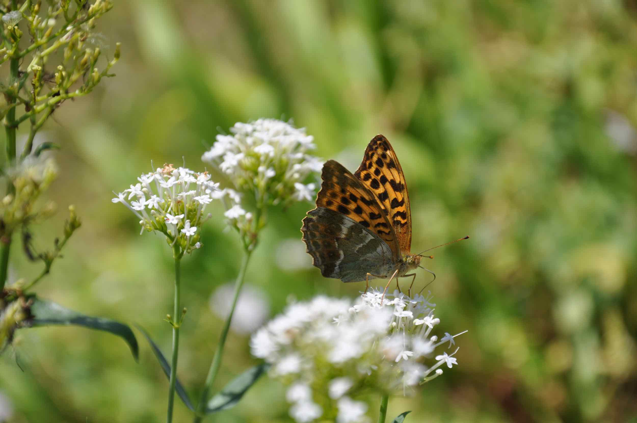 Silver-washed Fritillery Butterfly.jpg