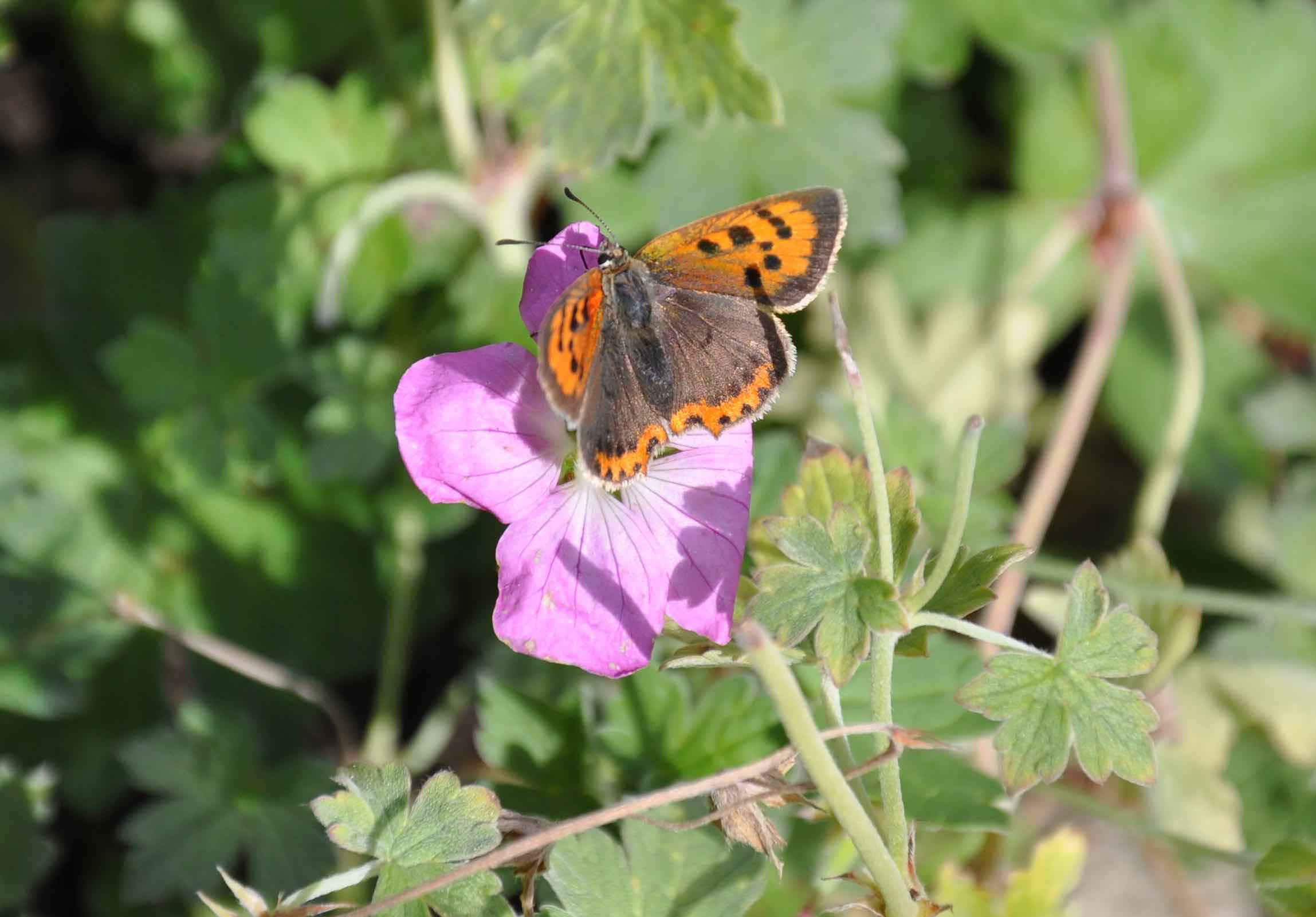 Small Copper Butterfly.jpg