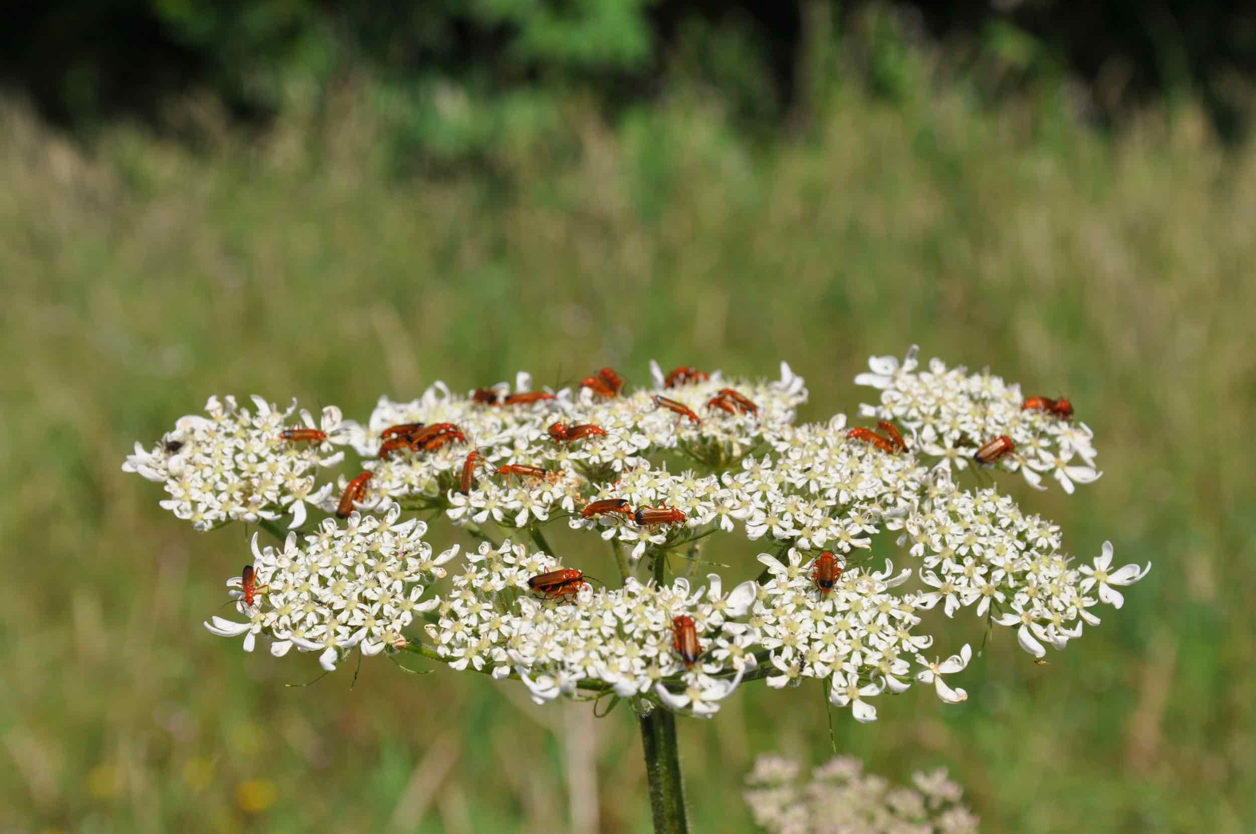 Soldier Beetles on Hogweed.jpg