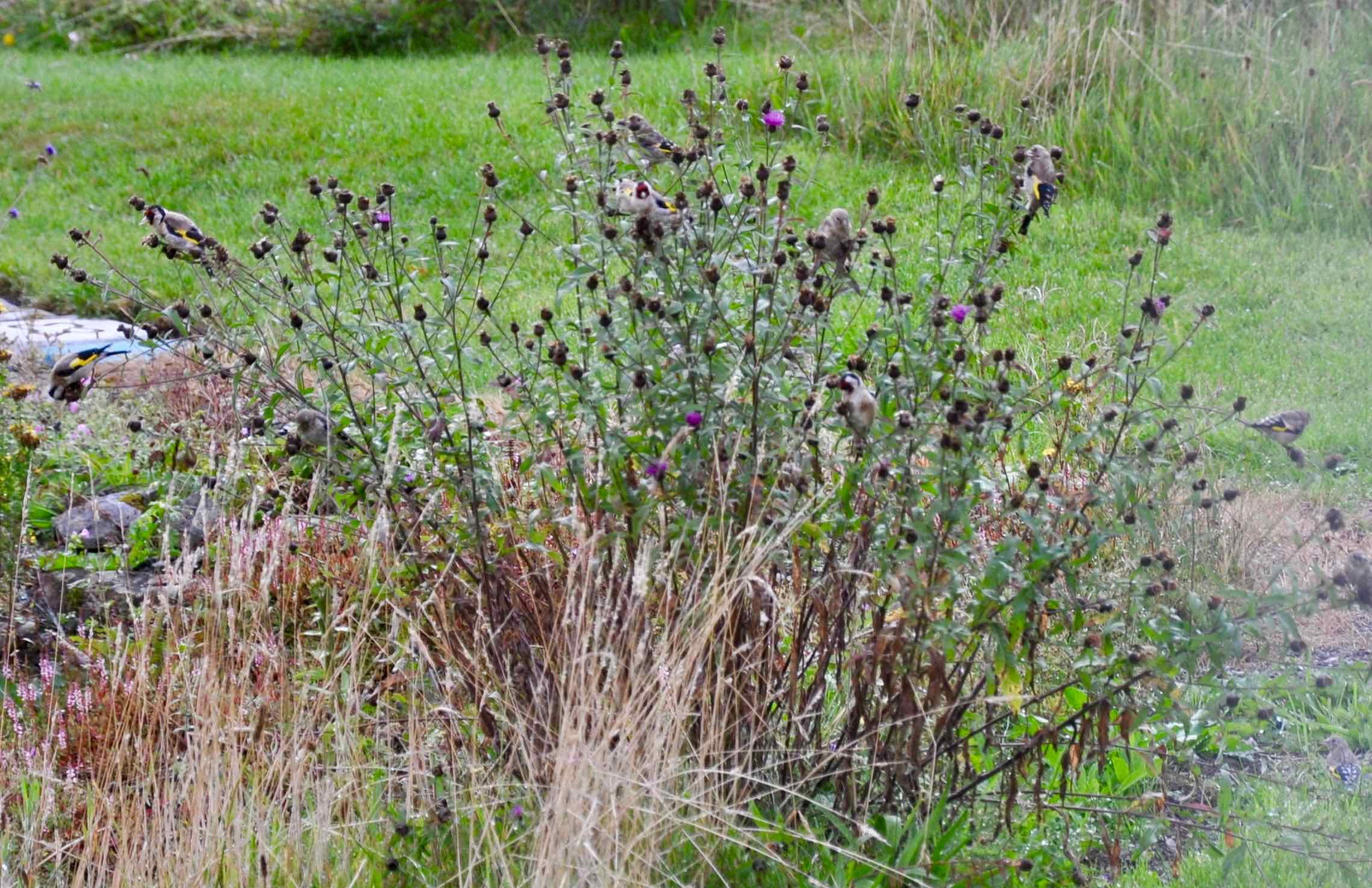 Goldfinches on Knapweed.jpg