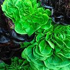 esc-lettuce.jpg