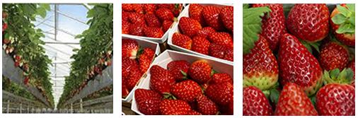 esc-strawberry-image-8.3.19.jpg