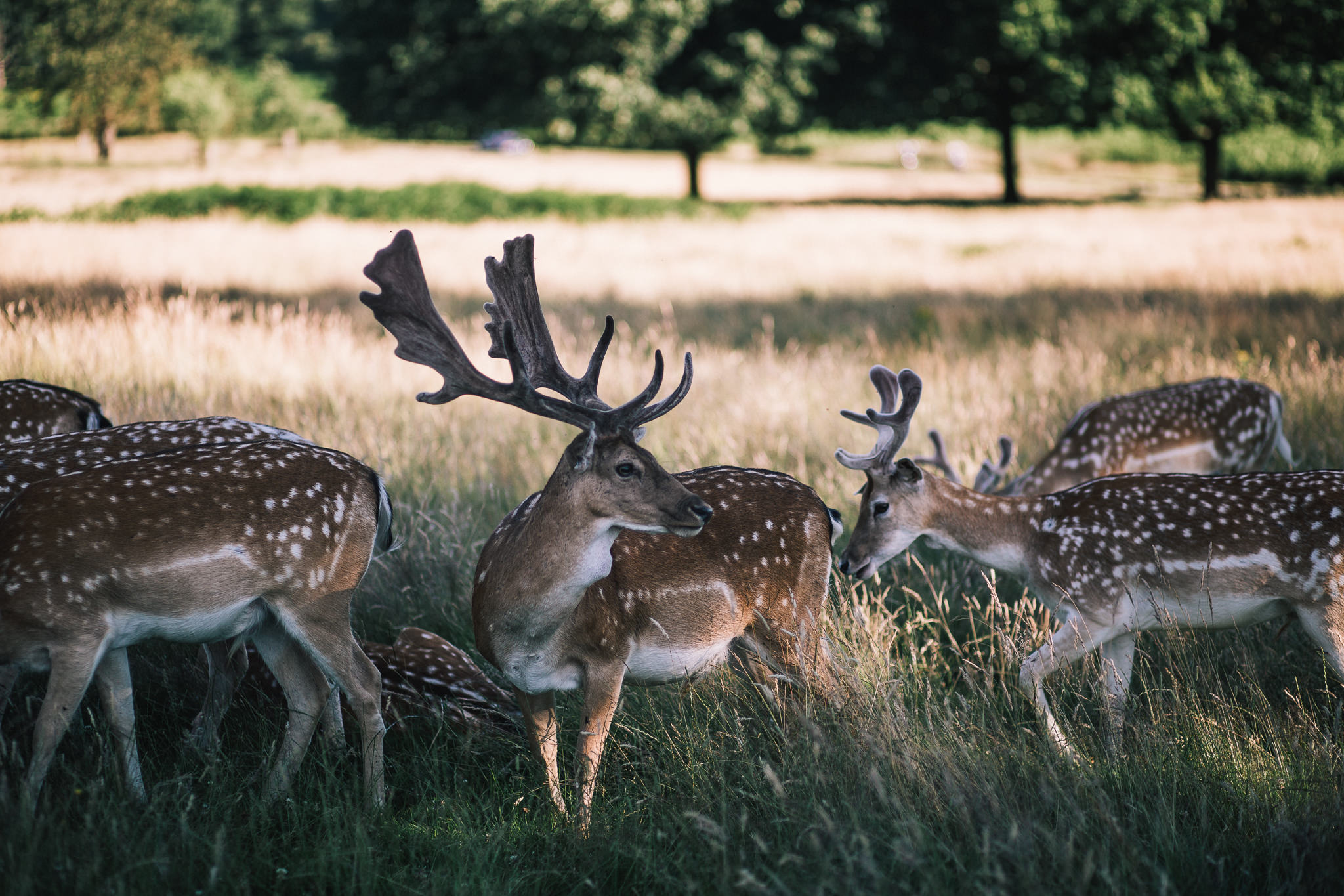 multiple deer in richmond park london england