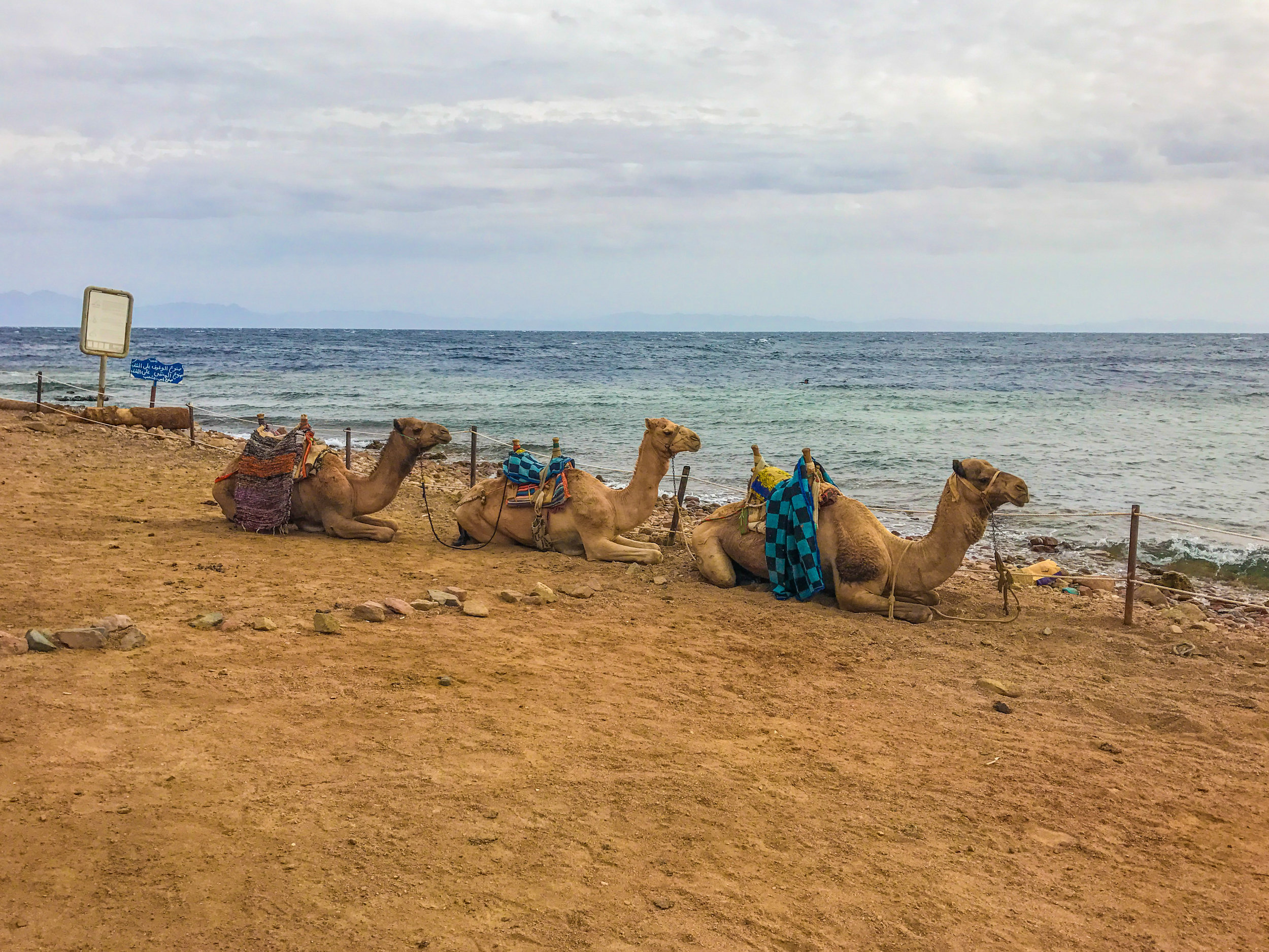 Camels chillin' on the Red Sea in Dahab