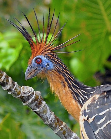 Hoatizn: The Amazon's punk rock bird
