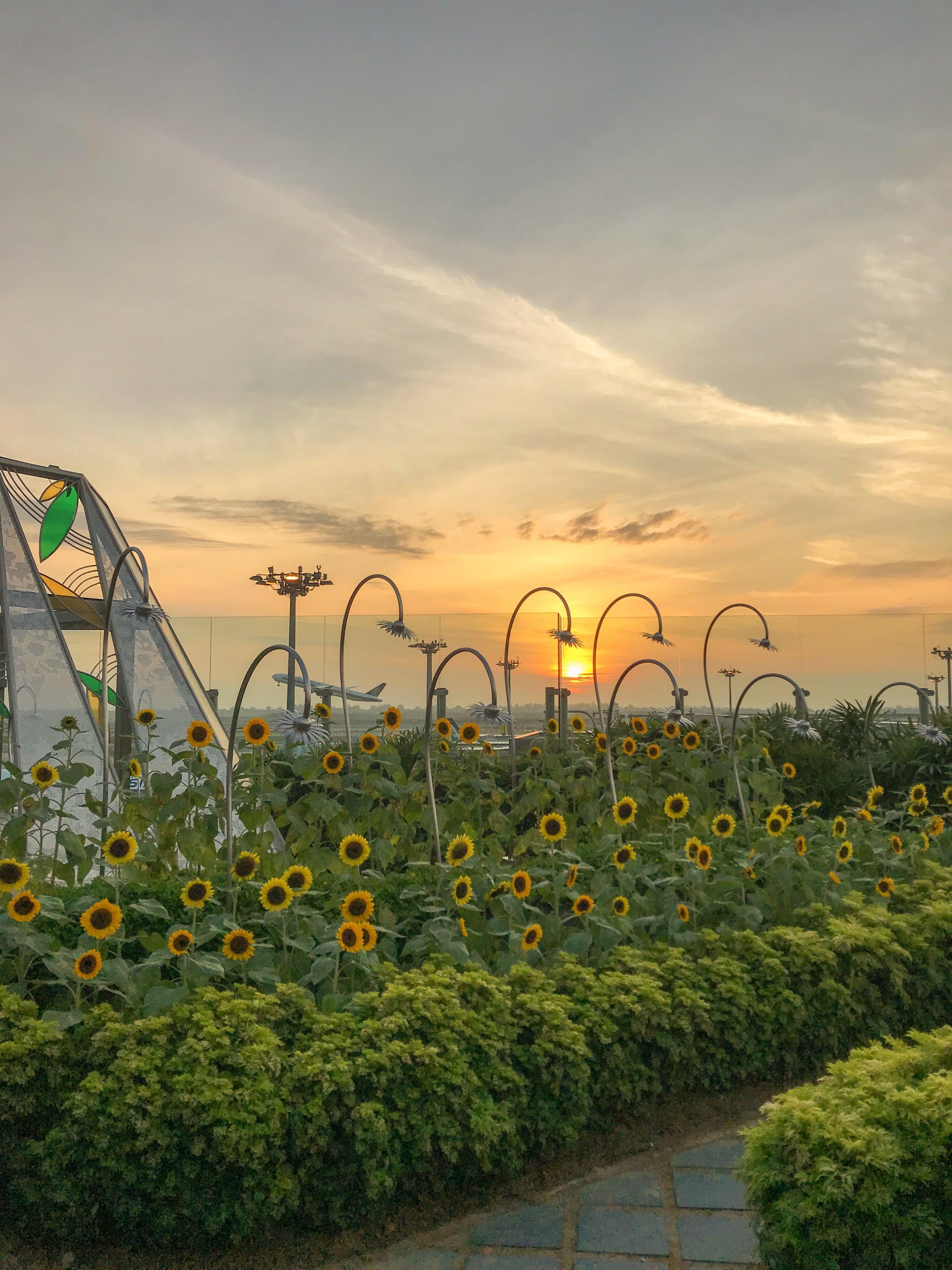 Rooftop sunflower garden at Changi Airport