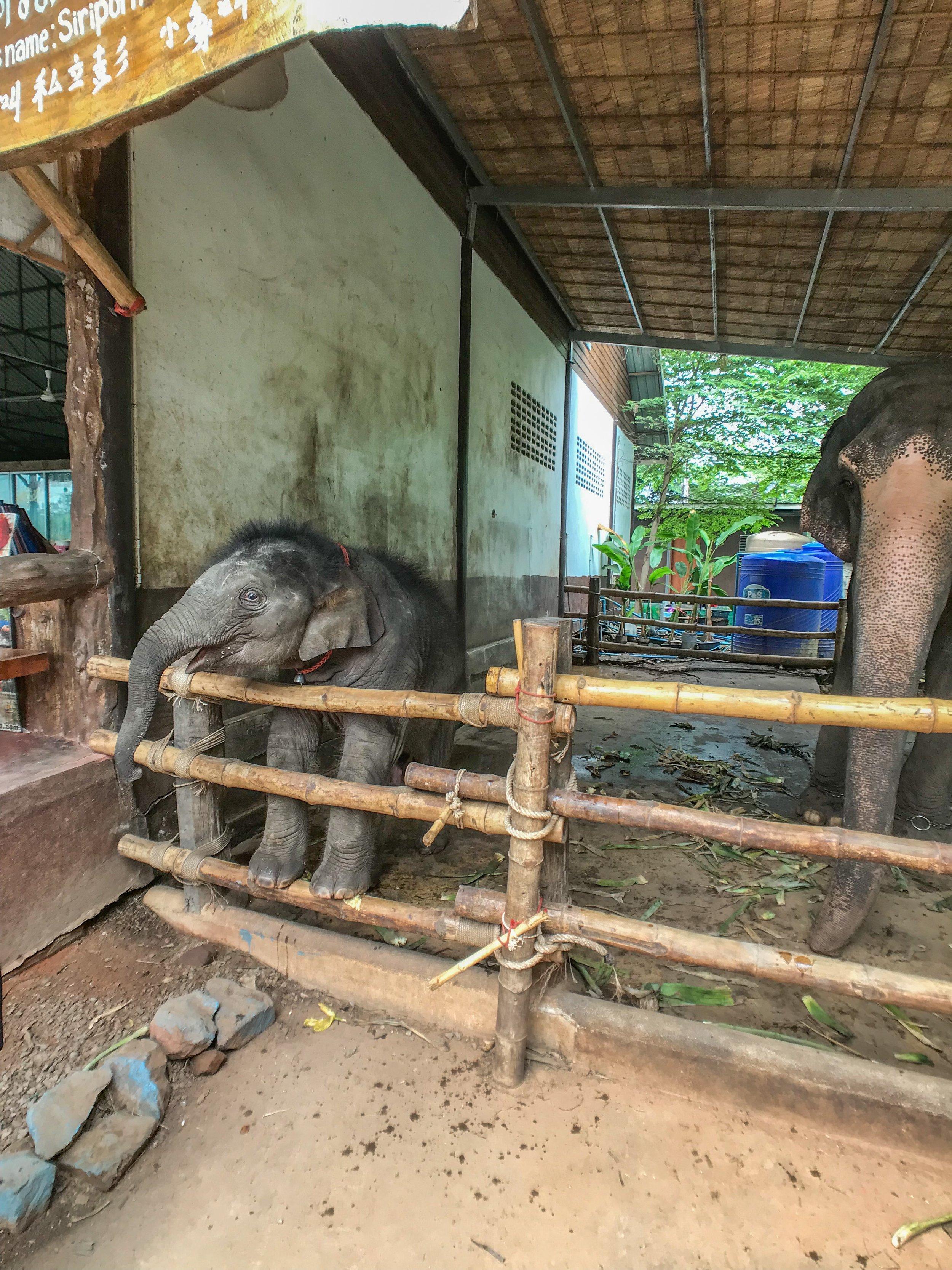 Unable to avoid animal cruelty - enslaved elephants outside the Karen Village