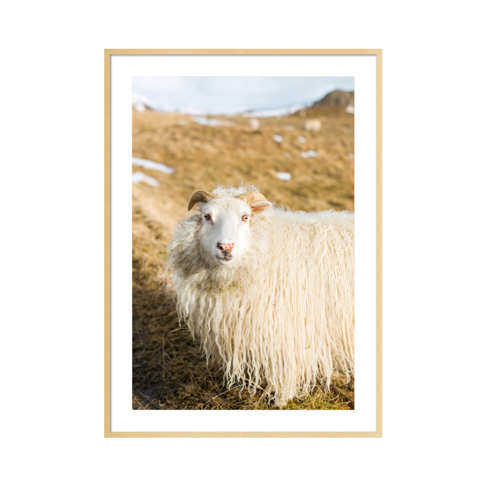 Icelandic Sheep  BY ROBERT AND TIFFANY PETERSON