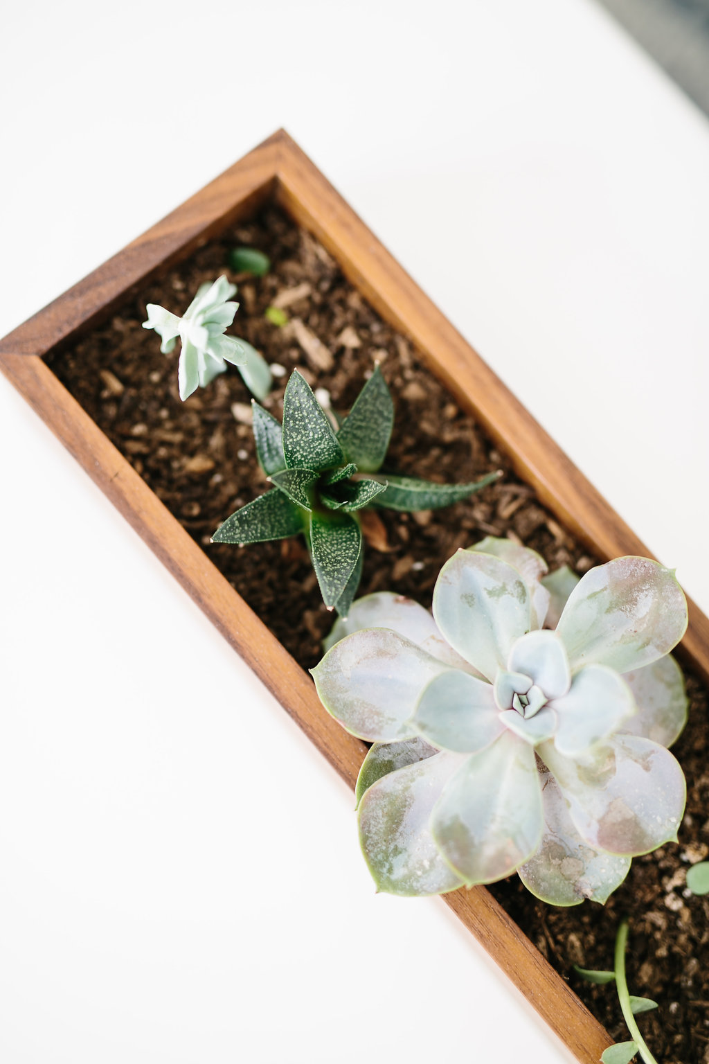 Sedums and succulents in a custom, handmade walnut planter box.