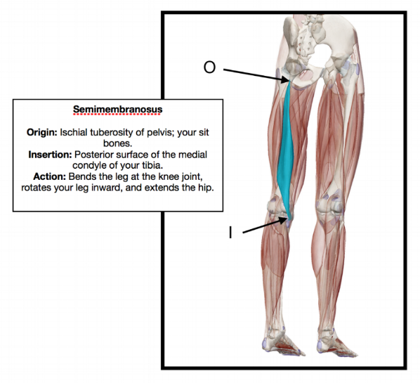 Medial Condyle of Tibia-  rounded protrusion on the upper, inner, area of your tibia.