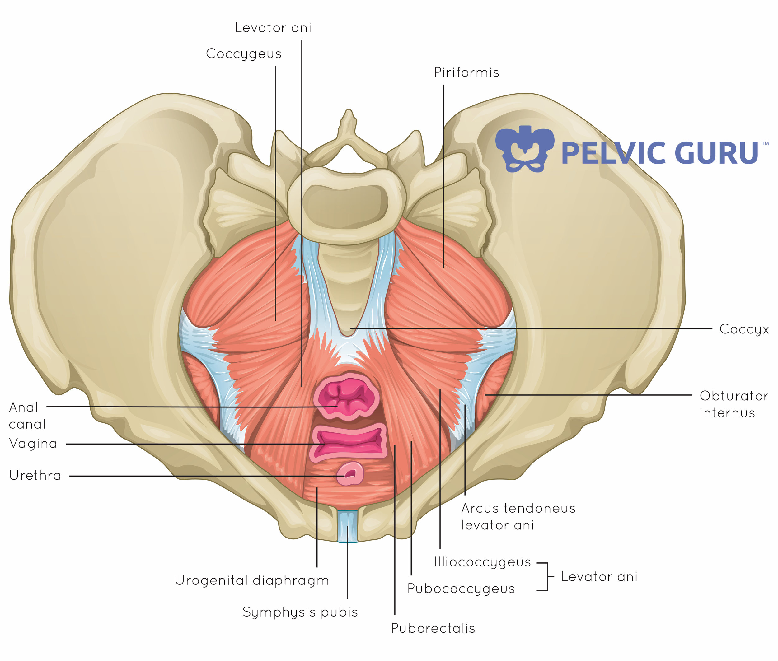 PelvicFloor.SuperiorView.Labeled.jpg