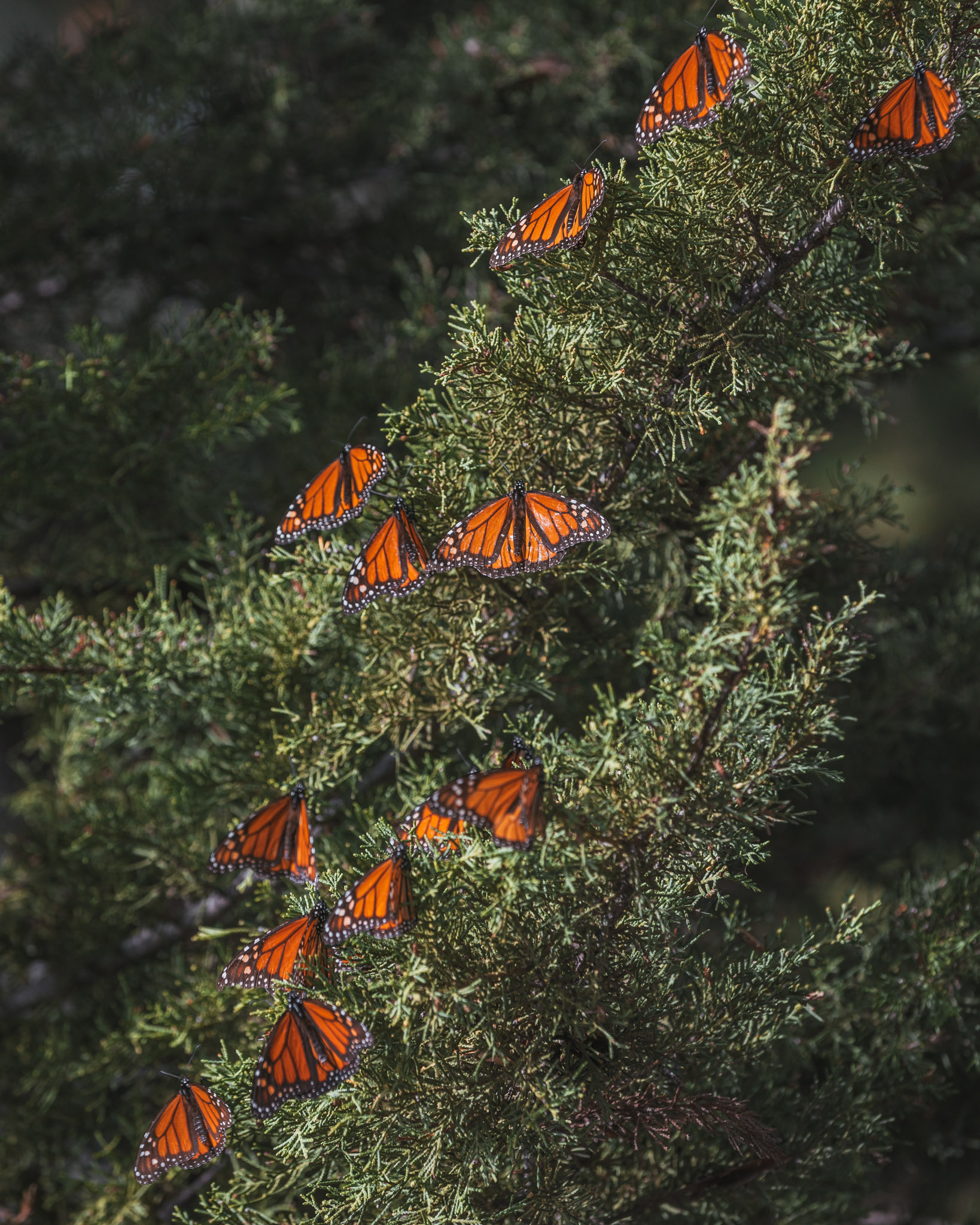 Monarch Butterfly Grove ~ The Most Instagrammable Spots in SLO CAL County ~ #readysetjetset #slocal #california #blogpost #travel #sanluisobispo