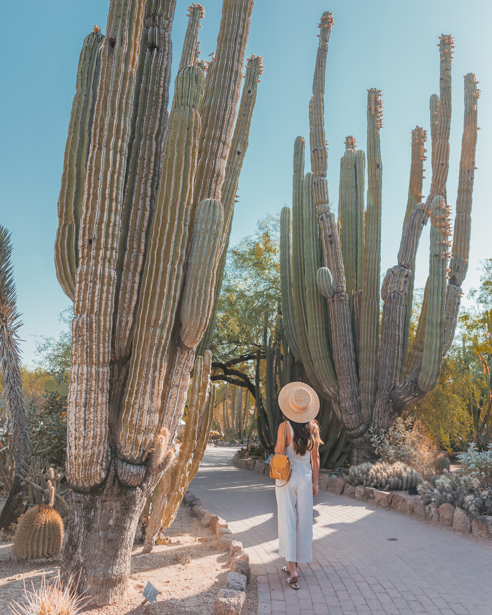 Tall cacti at the Desert Botanical Garden in Phoenix ~ The Quick Guide to Tempe, Arizona