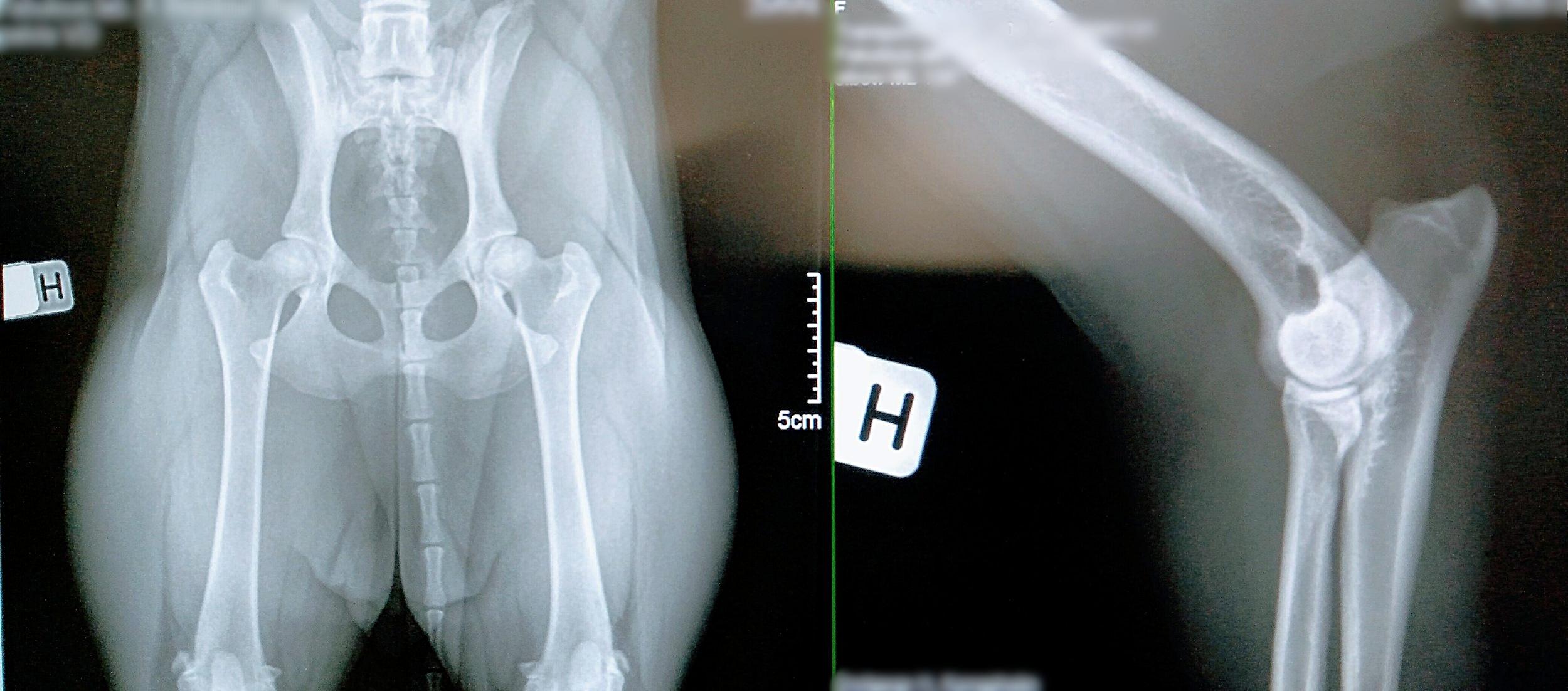 røntgen_hund