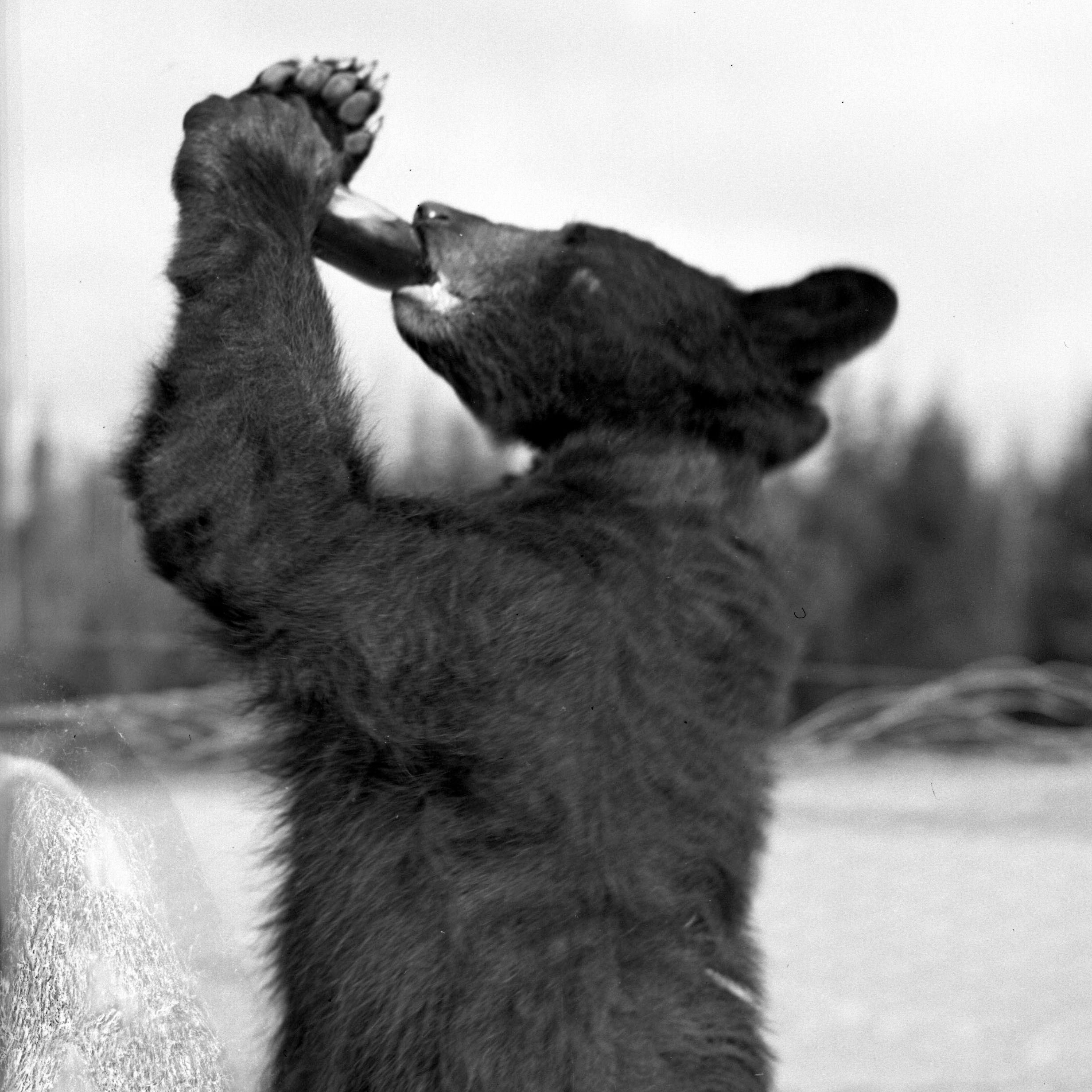 Bear drinking soda (Cropped)