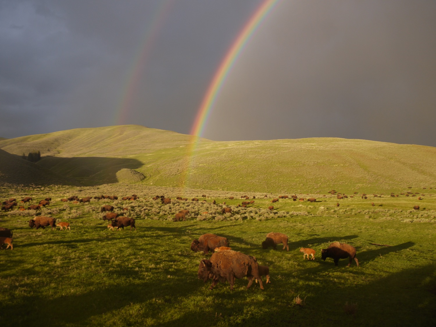 Bison graze in the Lamar Valley, Yellowstone National Park. Photo by Emily Stifler Wolfe