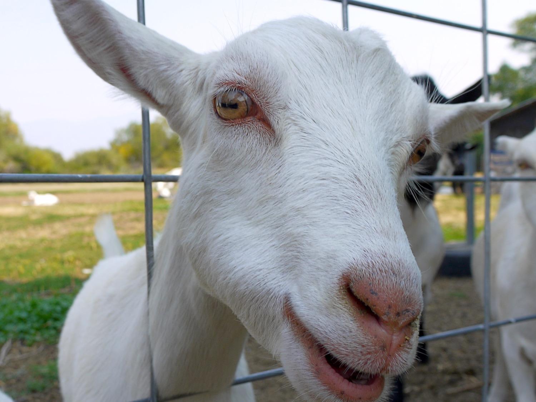 A curious goat at Amaltheia Dairy, Bozeman, Montana. (Photo by Emily Stifler Wolfe)