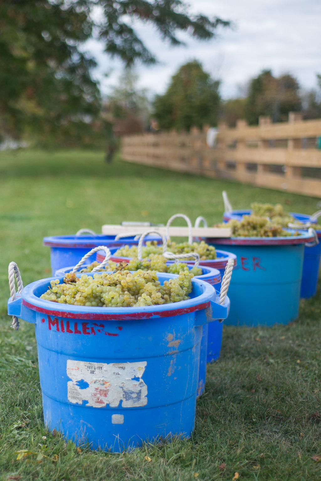 Grape_Harvest-114.jpg