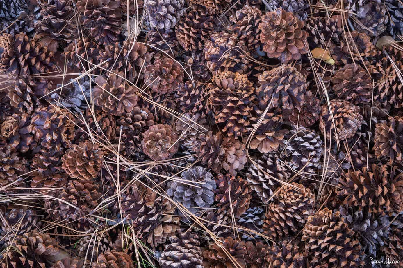 Sarah-Marino-Zion-Pinecones-Needles-1200px-Watermark.jpg
