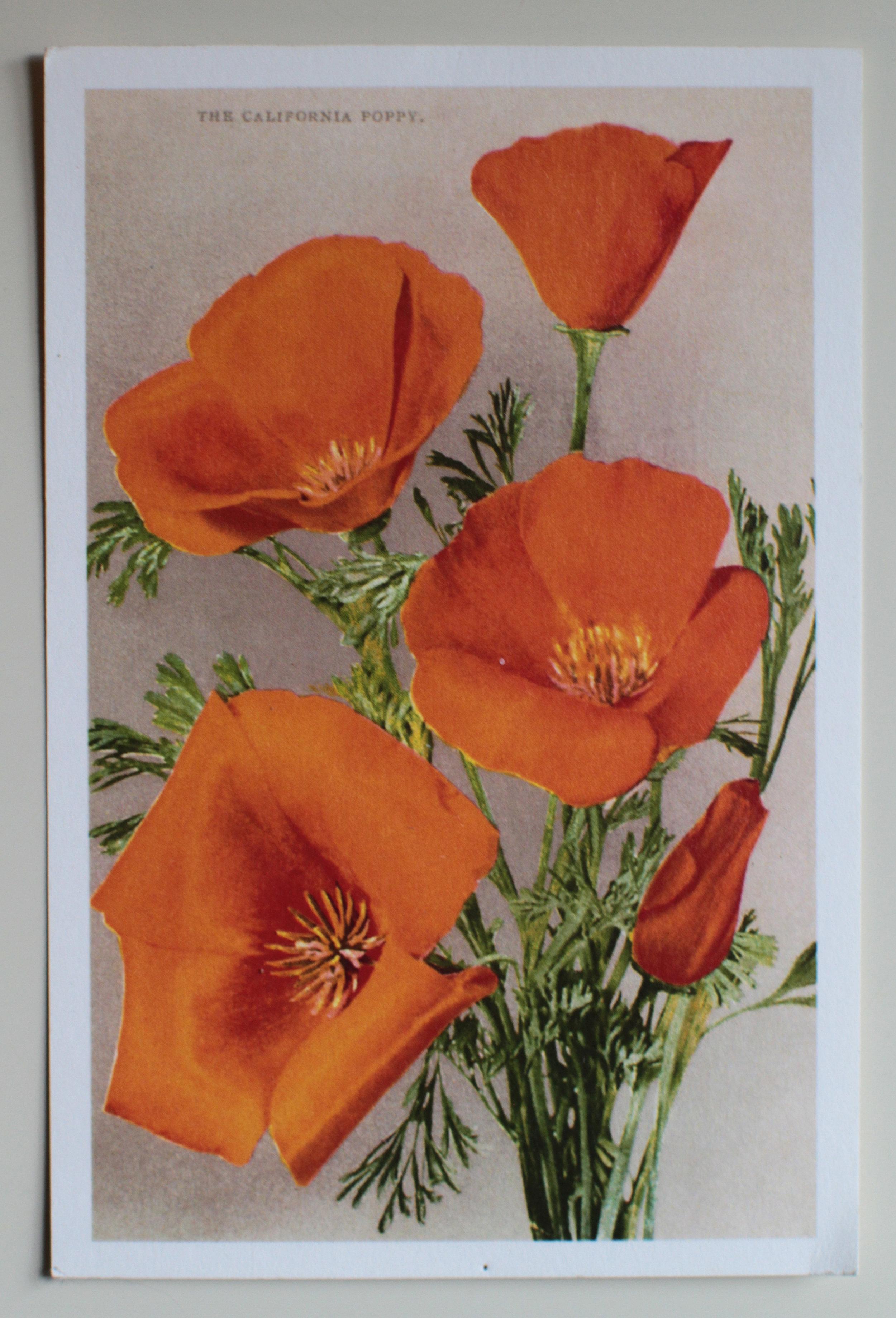 The California Poppy , a Muir Woods postcard