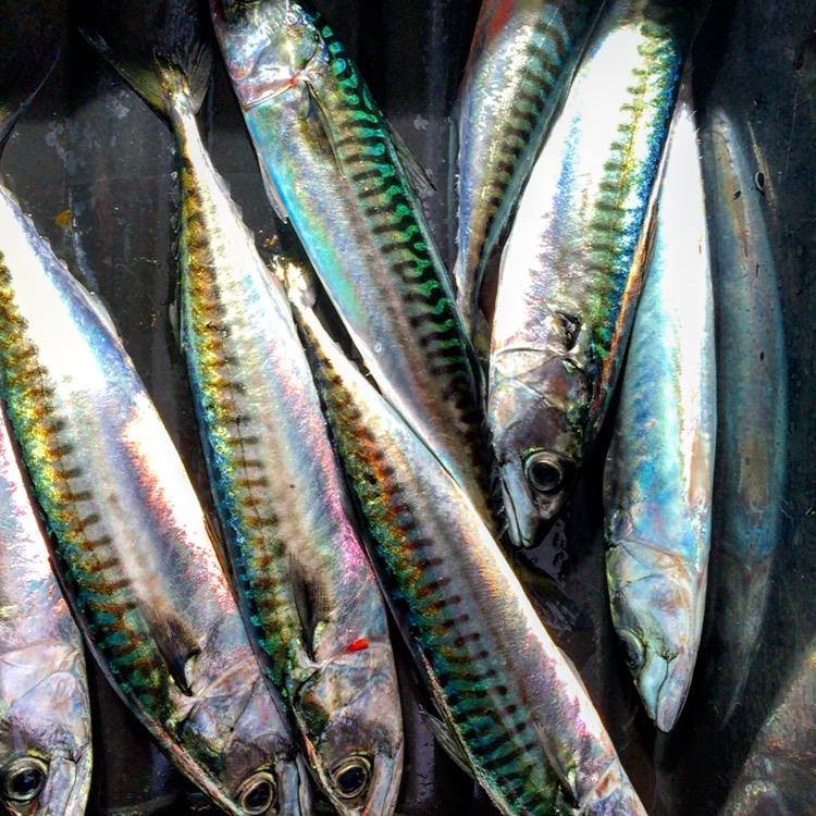 fresh mackerel.jpg
