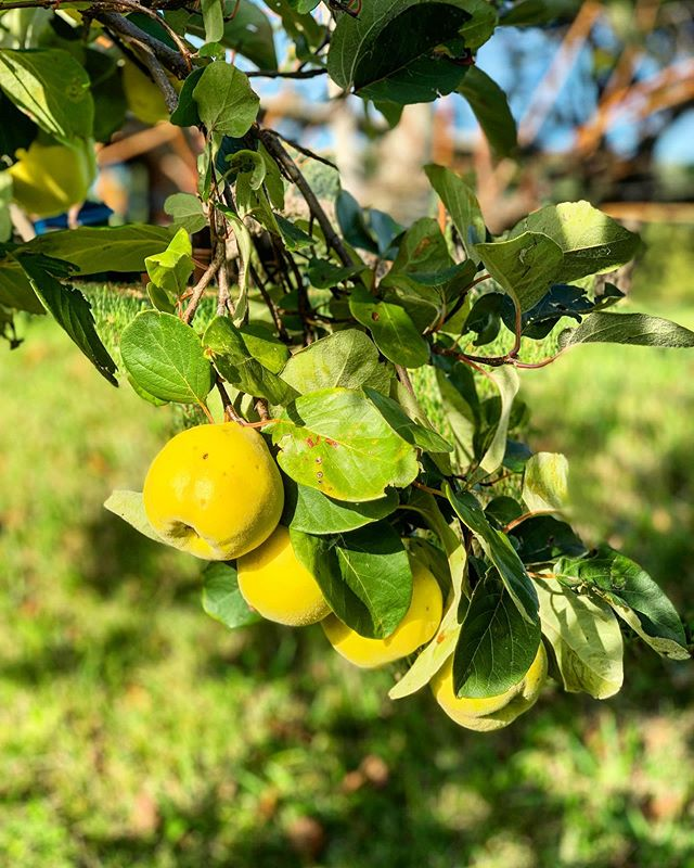 Quince tree going strong, might be time to make quince tart tatin....or jelly . . . . #raccolta2019 #undisclosedlocation #mightjustnotcomeback #buttheresnocentralheating