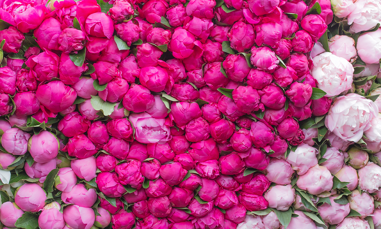 Pink Peonies at the Paris Market @rebeccaplotnick @everydayparisian