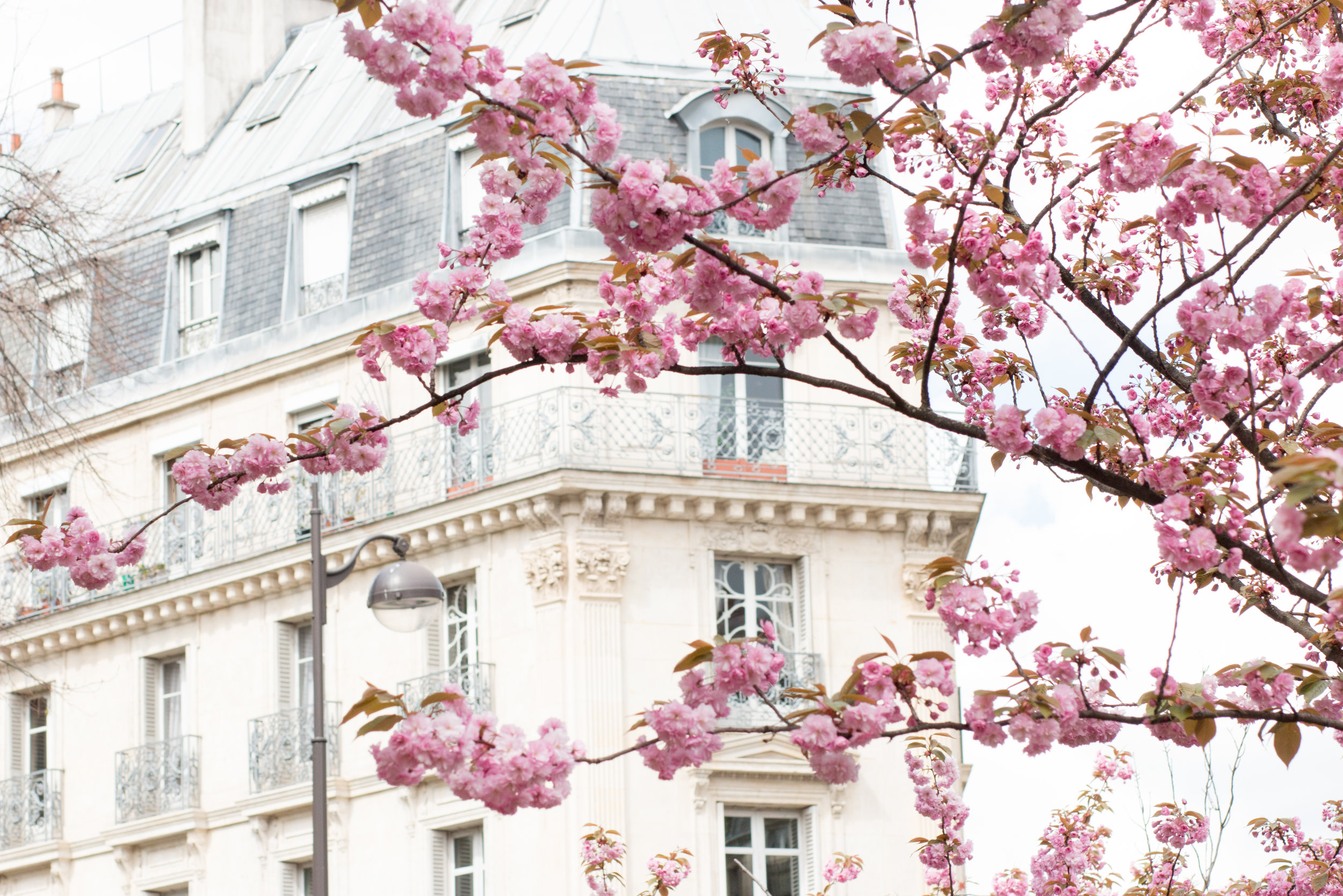 Rue Monge Cherry Blossoms in Bloom