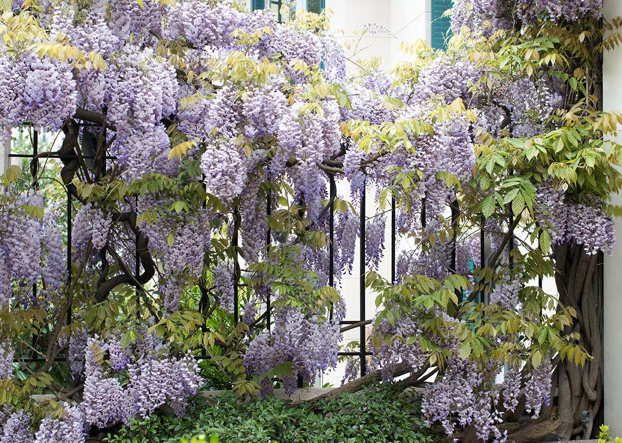 montmartre wisteria spring in paris