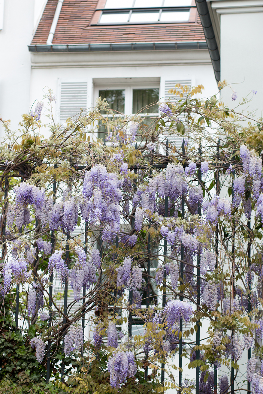 montmartre wisteria paris in the spring