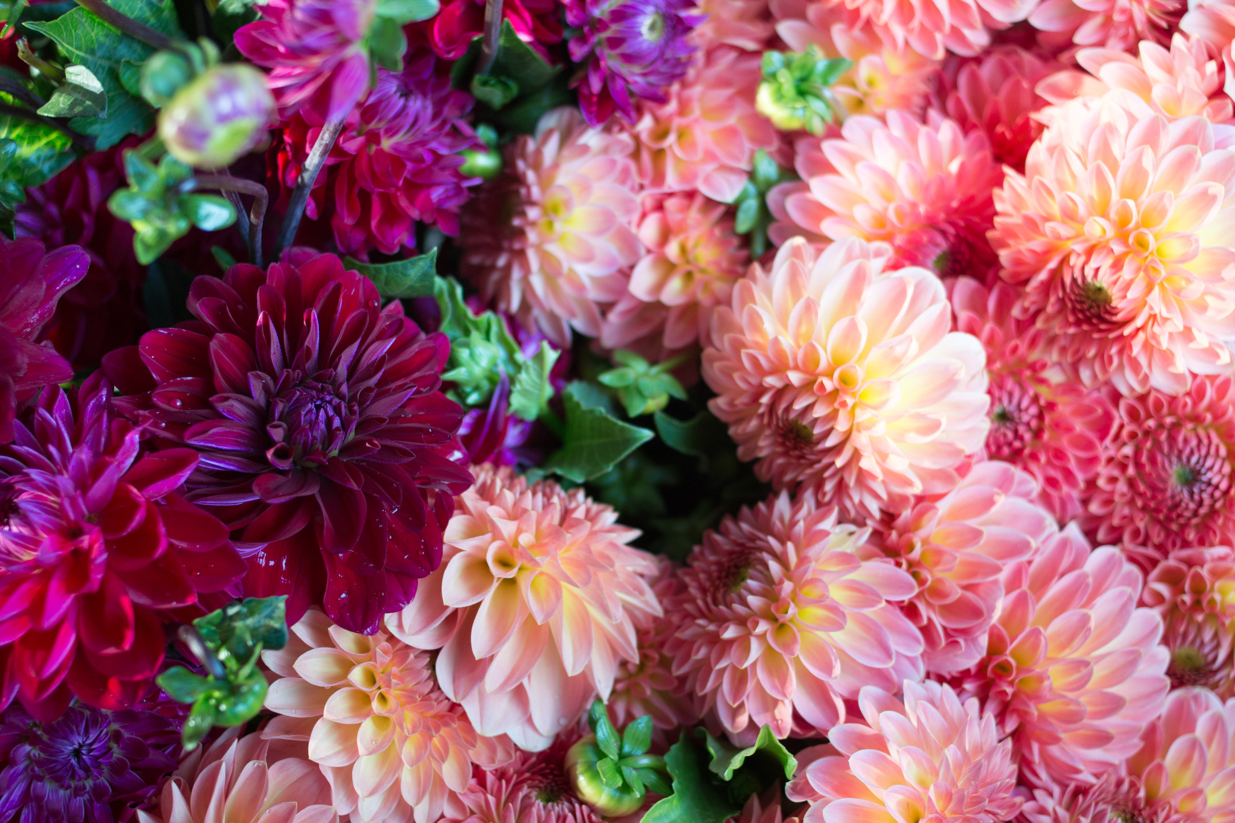 paris pink dahlias