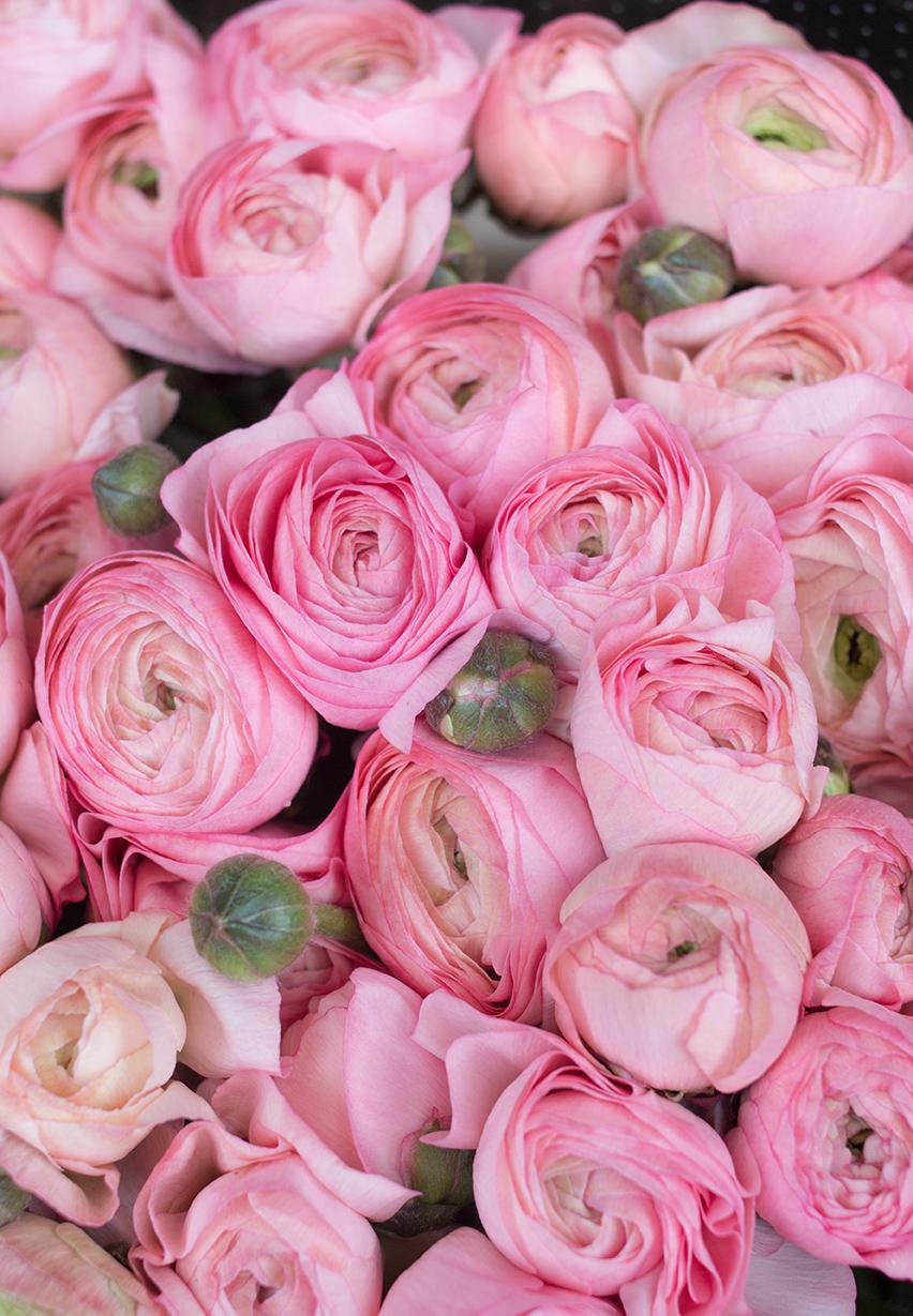 pink ranunculus flowers paris