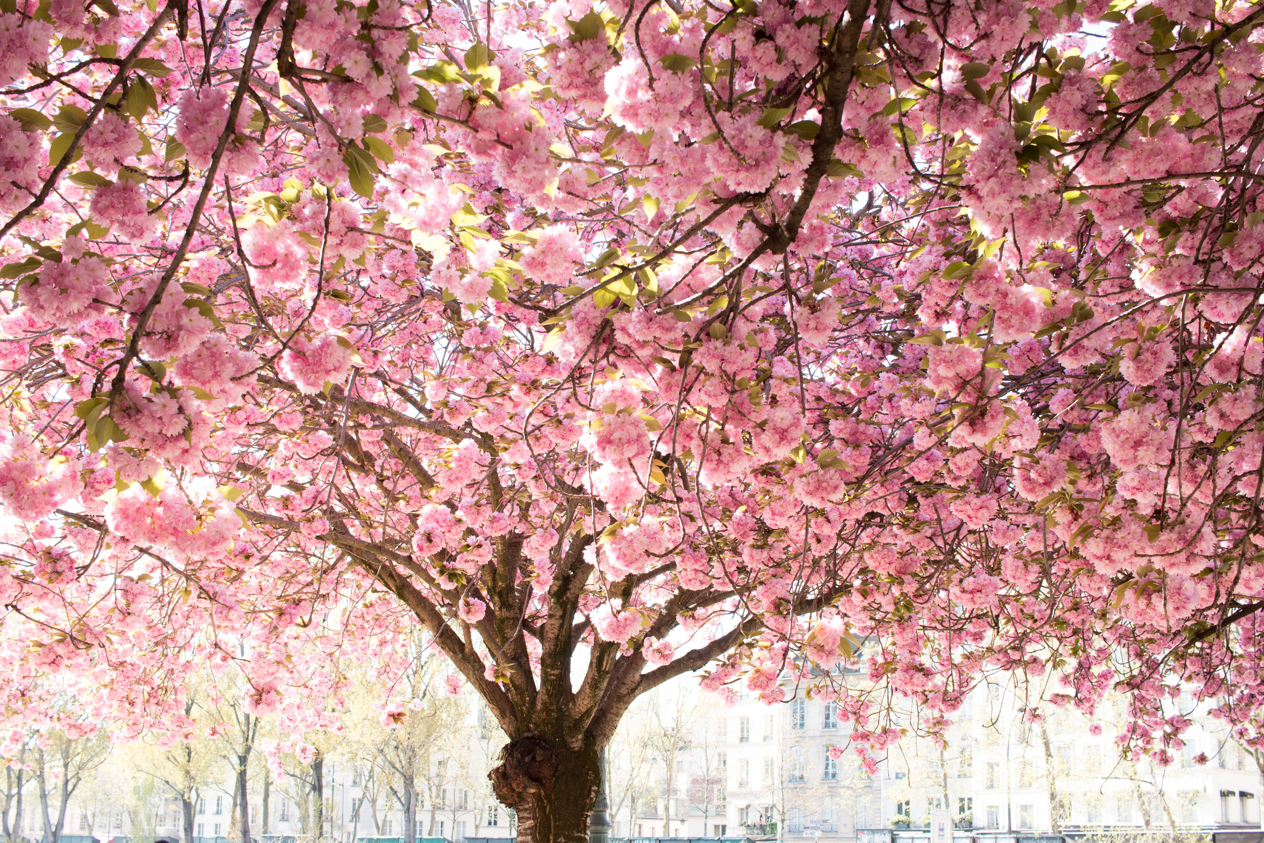cherry blossoms paris france rebecca plotnick
