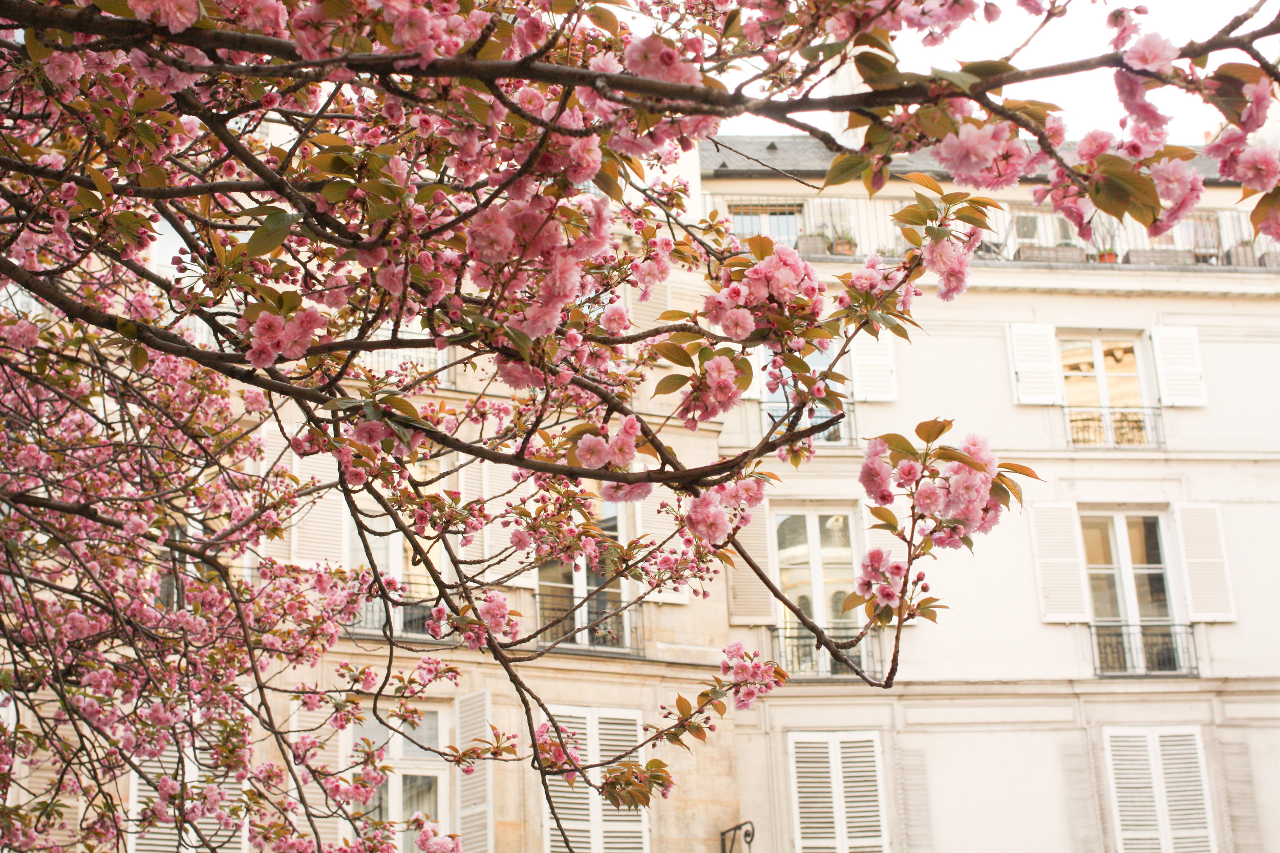 paris spring cherry blossoms