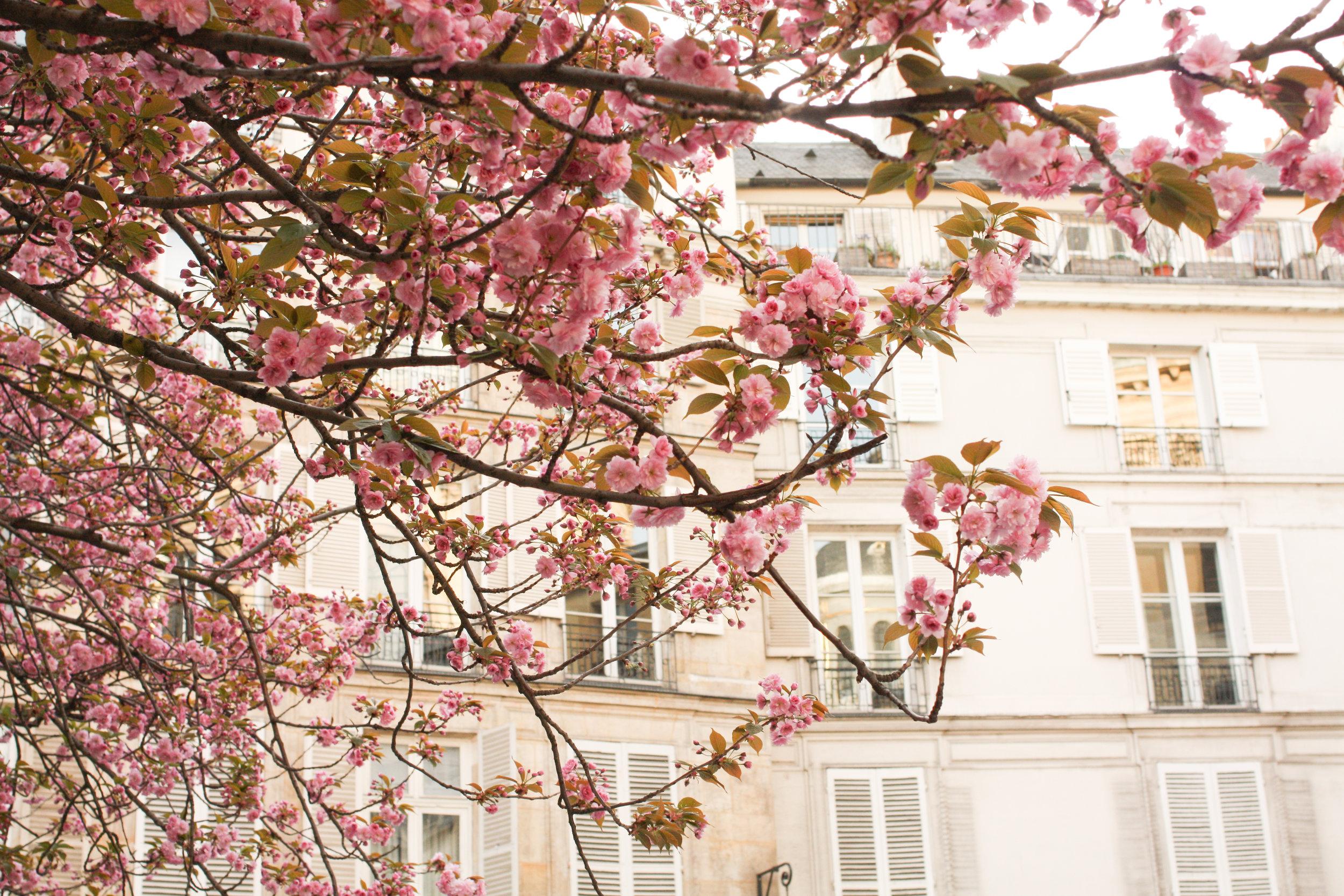 paris spring cherry blossoms