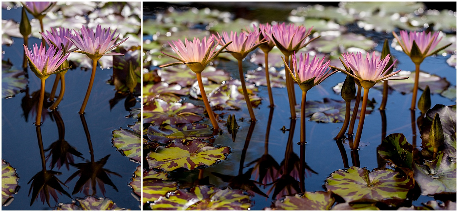Longwood Gardens Waterlilies