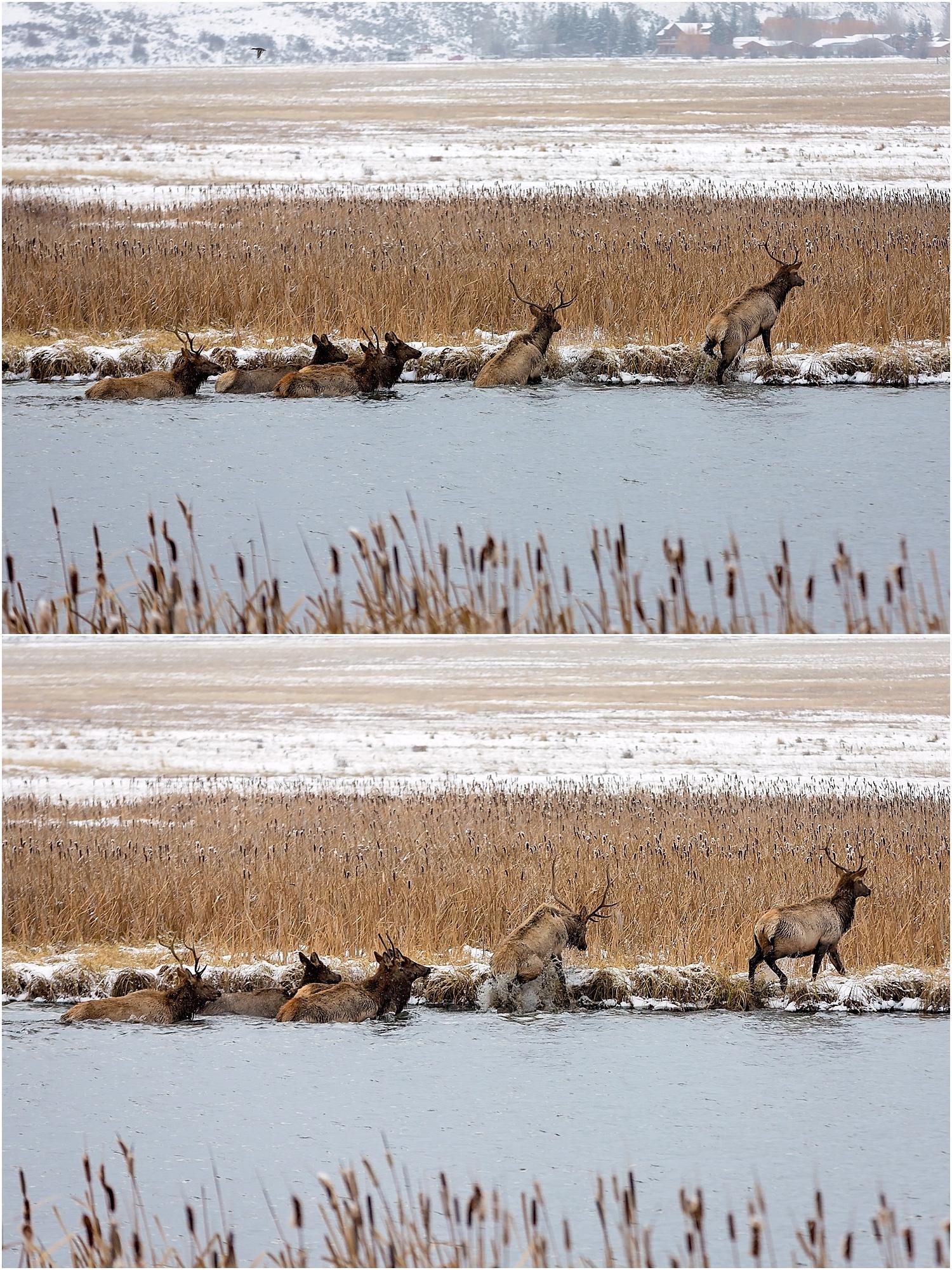 Jackson Wyoming Wildlife Photographer Elk