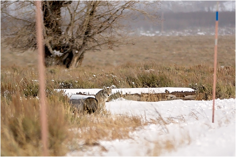 Jackson Wyoming Wildlife Photographer Coyote