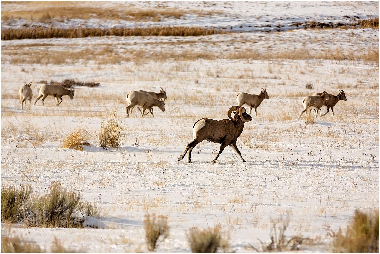 Jackson Wyoming Wildlife Photographer Bighorn Sheep