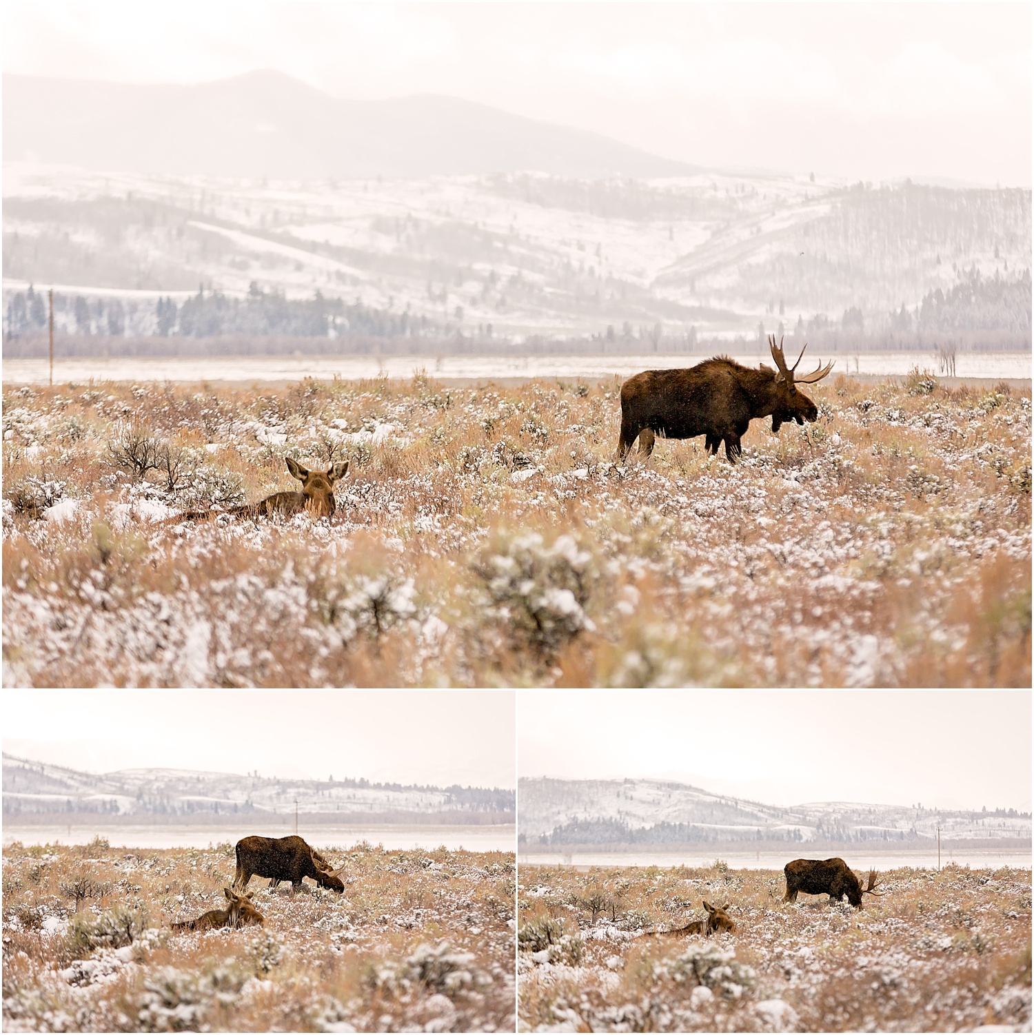 Jackson Wyoming Wildlife Photographer Moose