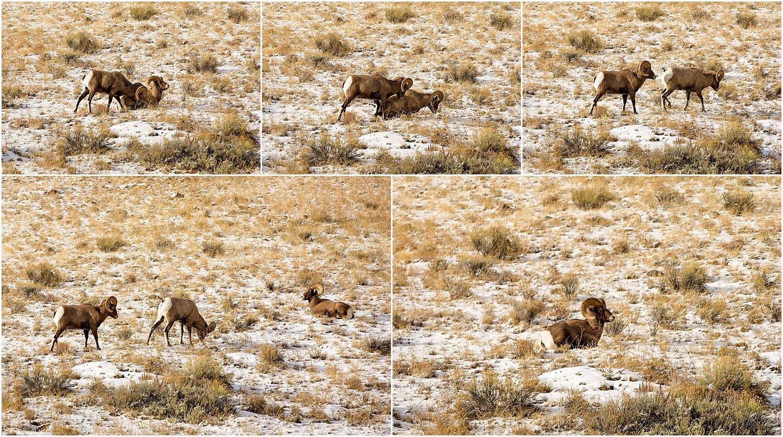 Jackson Wyoming Wildlife Photographer Bighorn SheepJackson Wyoming Wildlife Photographer Bighorn Sheep