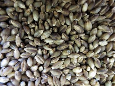 Bronze Barley
