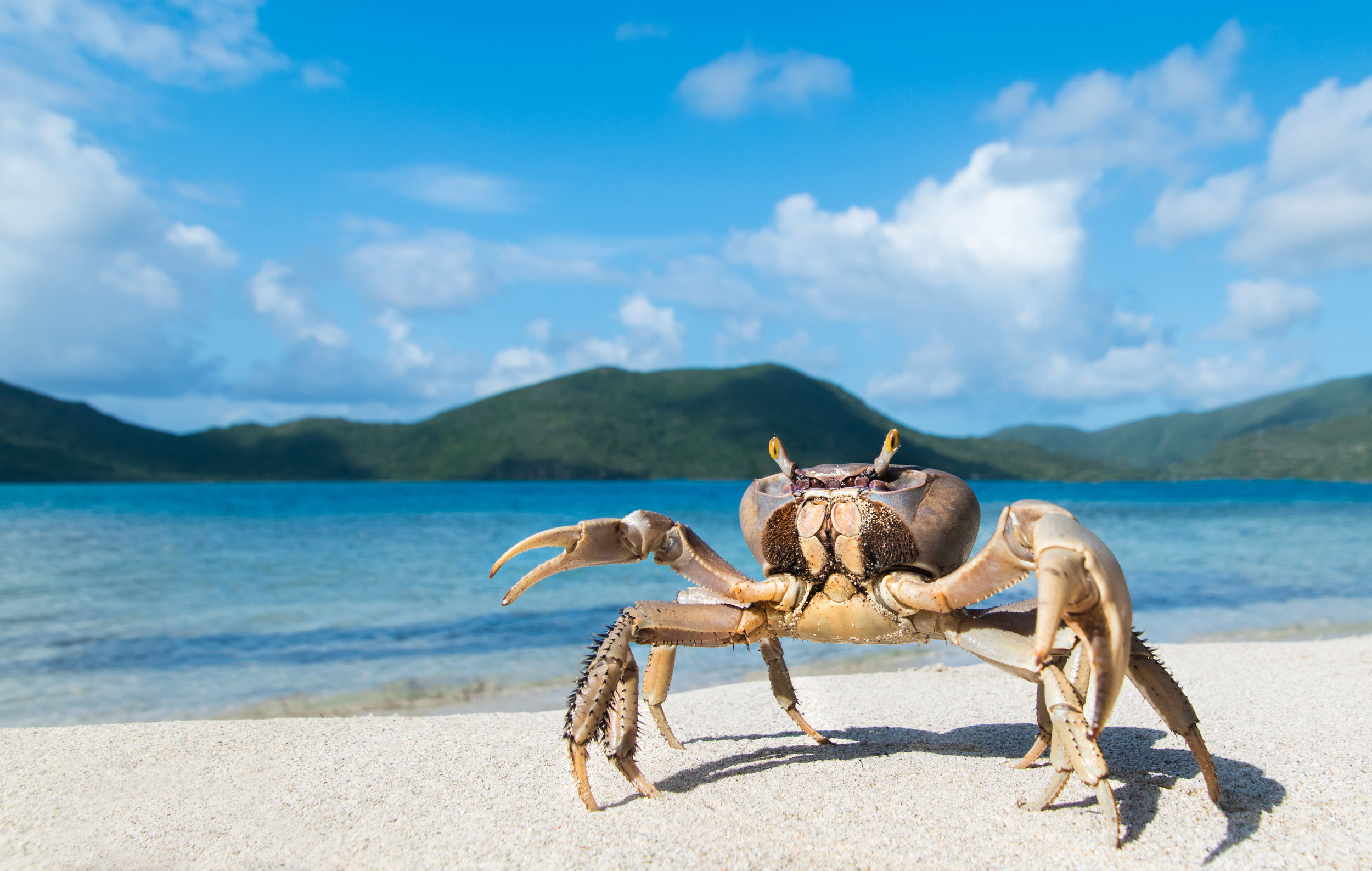 """ Land Crab ,"" British Virgin Islands"
