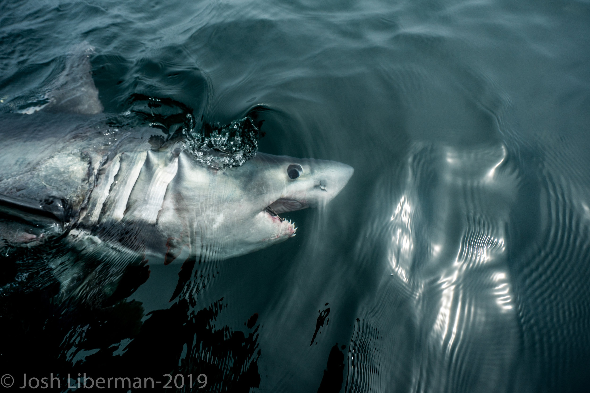 There are 13 species of sharks found in Cape Cod's waters, including the porbeagle shark.