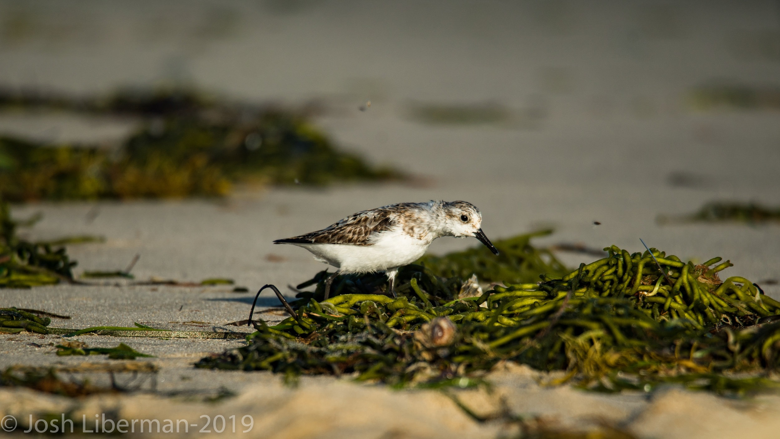 This sanderling is searching for crustaceans in some seaweed.