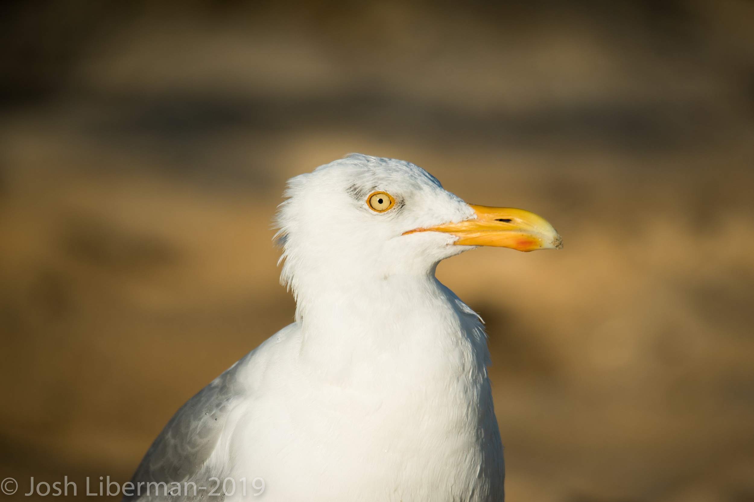 Herring Gulls are abundant along the seashore.