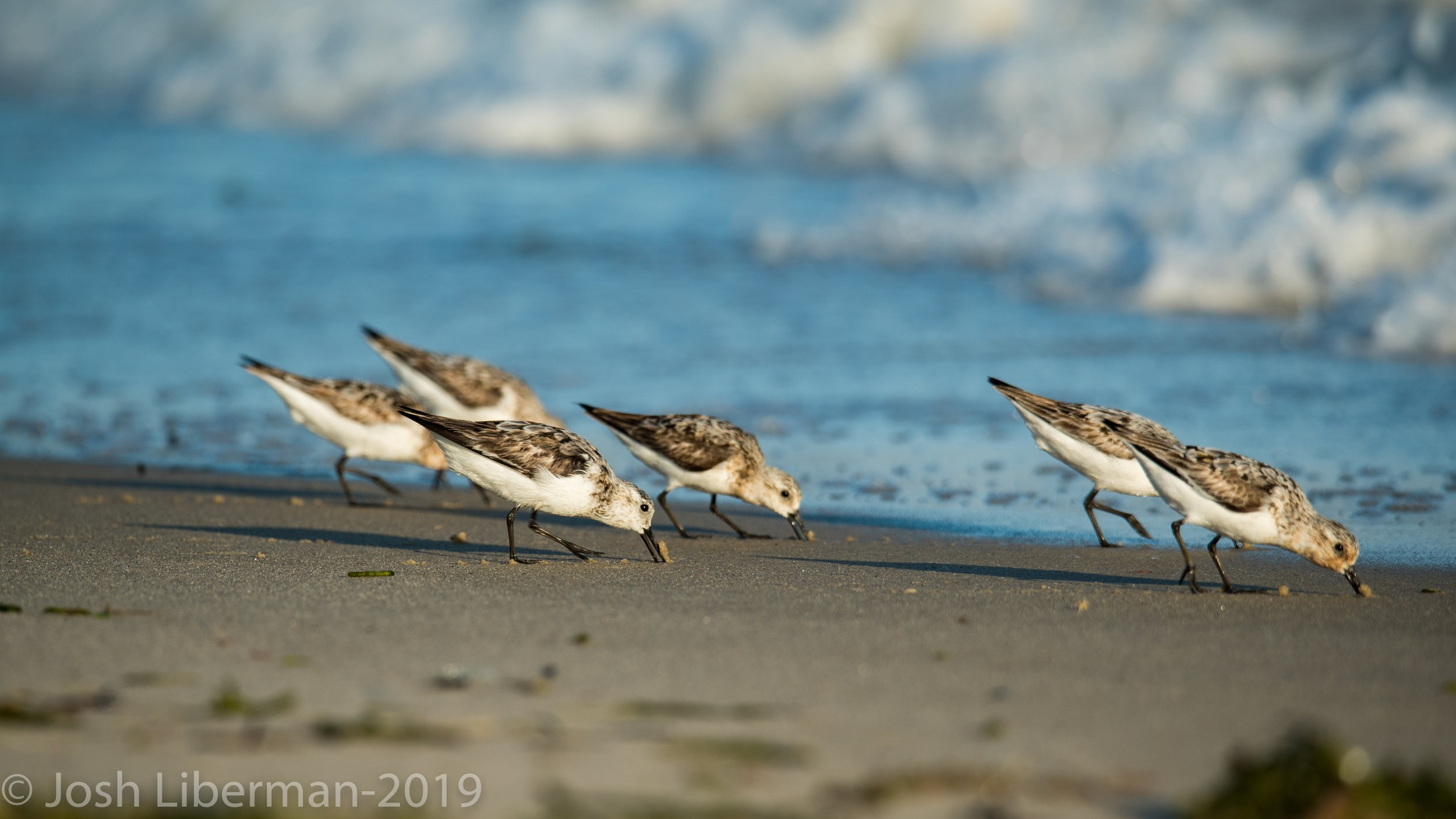 Sanderlings feed by running down the beach after a receding wave to pick up stranded invertebrates or search for prey hidden in the wet sand.